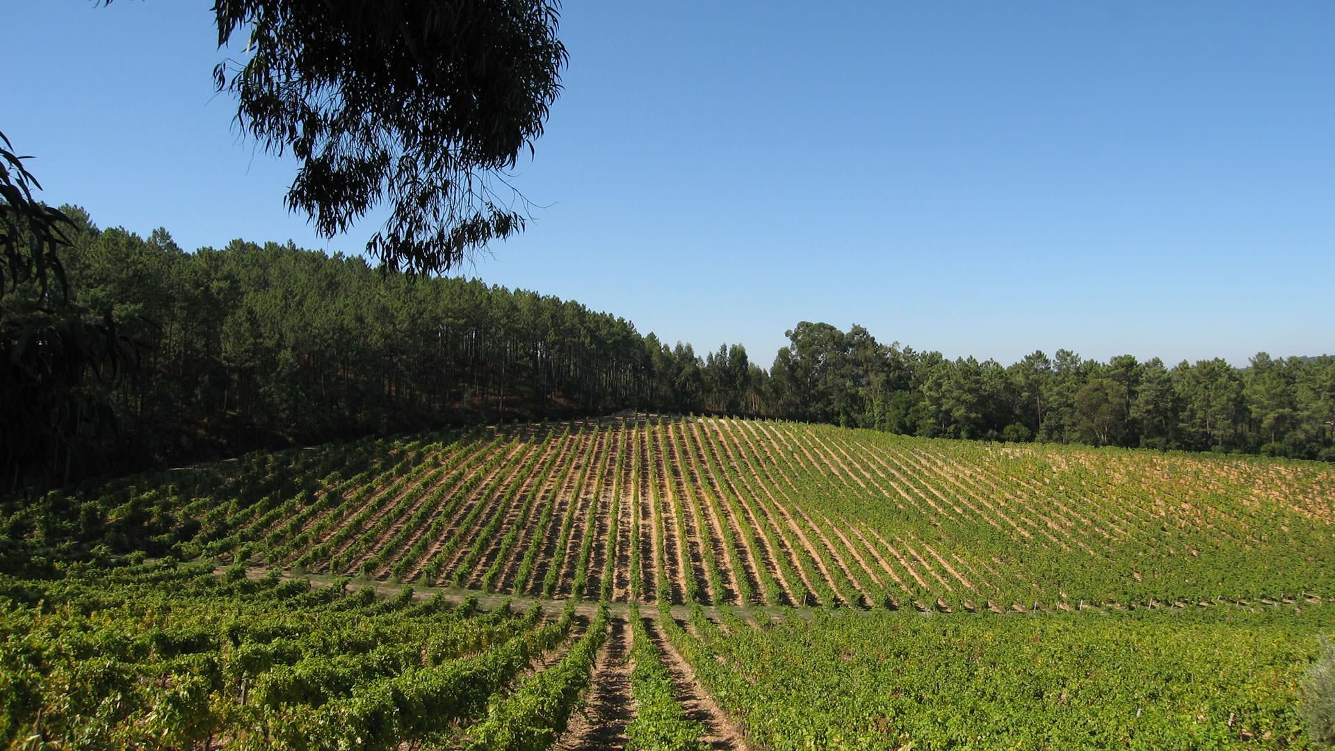 Vinhas e Vinhos